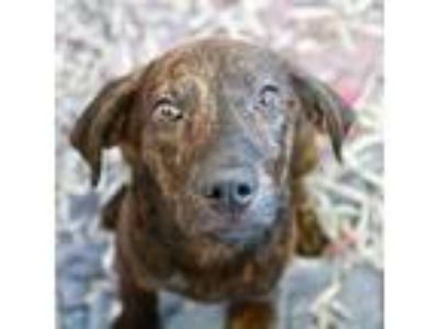 Adopt Merlin a Tan/Yellow/Fawn Hound (Unknown Type) / Mixed dog in Alpharetta