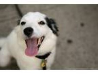 Adopt Zola *FOSTER NEEDED* a White - with Black Border Collie / Terrier (Unknown