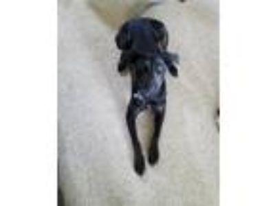 Adopt Farrah a Black Labrador Retriever dog in Pflugerville, TX (25271807)
