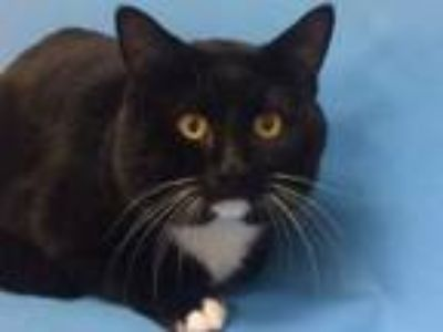 Adopt Avenger a All Black Domestic Shorthair / Mixed (short coat) cat in