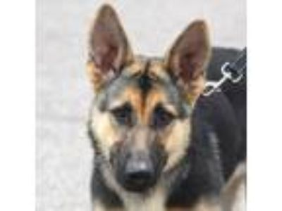 Adopt Nelly a Black - with Brown, Red, Golden, Orange or Chestnut German