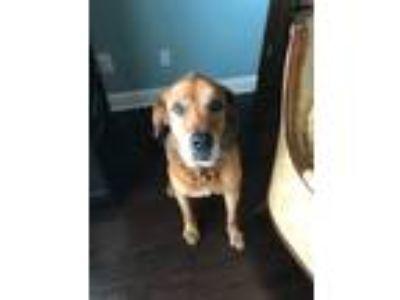Adopt Diesel a Brown/Chocolate Golden Retriever / Mastiff / Mixed dog in Plano