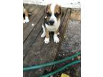 Adopt Kenny a Tricolor (Tan/Brown & Black & White) Labrador Retriever / Boxer /