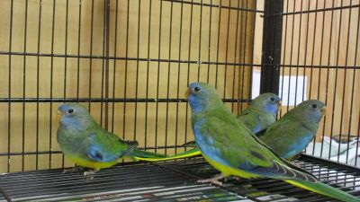 Scarlet Chested Parakeets