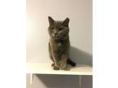 Adopt Emma a Extra-Toes Cat / Hemingway Polydactyl, Russian Blue
