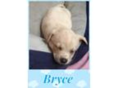 Adopt Bryce a Tan/Yellow/Fawn - with White Labrador Retriever / Mixed dog in