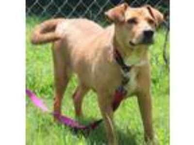 Adopt Brownie a Labrador Retriever