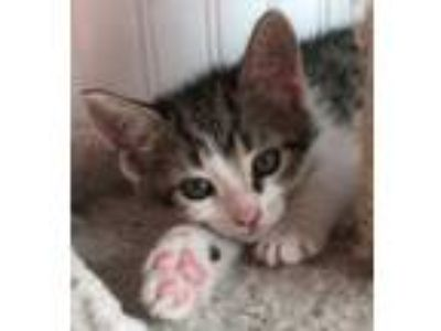 Adopt Greg a Tan or Fawn Domestic Shorthair / Domestic Shorthair / Mixed cat in