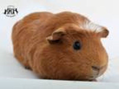 Adopt Giselle at Jefferson Feed (Veterans) a Guinea Pig