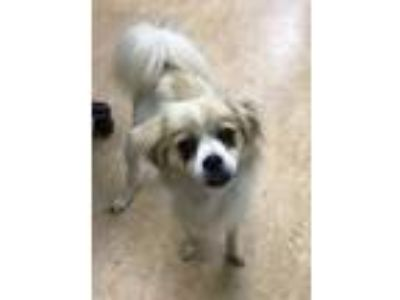 Adopt BART a White - with Tan, Yellow or Fawn Pekingese / Pomeranian / Mixed dog