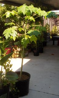 $50, Papaya Tree