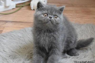 beautiful Exotic Shorthair kitten