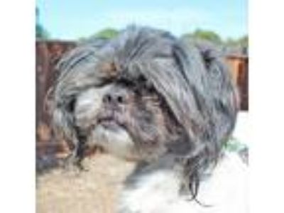 Adopt Everest a Black - with White Shih Tzu / Mixed dog in Walnut Creek