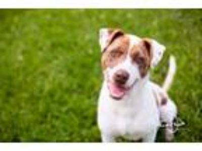 Adopt Kelso a Catahoula Leopard Dog