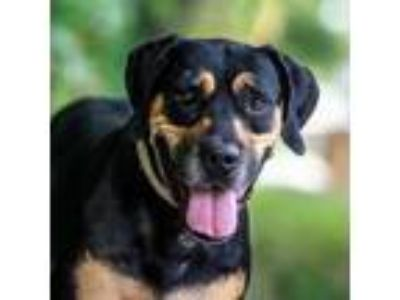 Adopt Vito a Rottweiler / Mixed dog in St. Petersburg, FL (23629849)