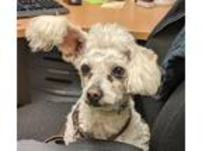 Adopt Mooshi a Poodle (Standard) / Mixed dog in Oceanside, CA (25247720)