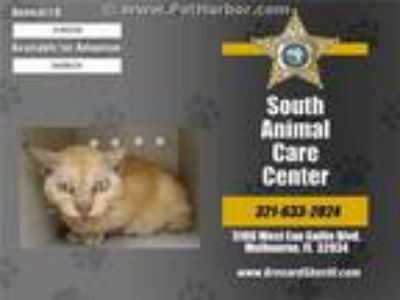Adopt DAFFODIL a Orange or Red Tabby Domestic Shorthair / Mixed (short coat) cat