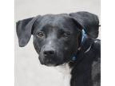 Adopt Lysa a Black - with White Labrador Retriever / Boxer / Mixed dog in