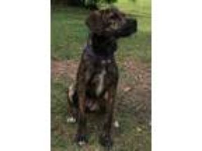 Adopt Molly a Brindle - with White Border Terrier / Mountain Cur / Mixed dog in