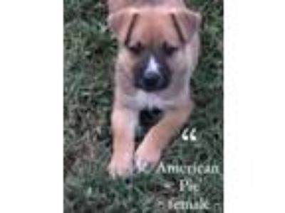Adopt AMERICAN PIE SOCIETY-AN AMERICAN PUP a Mixed Breed