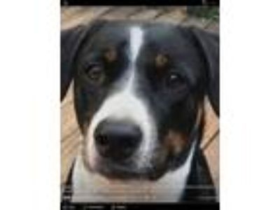Adopt Karl a Black - with Tan, Yellow or Fawn Greater Swiss Mountain Dog / Hound