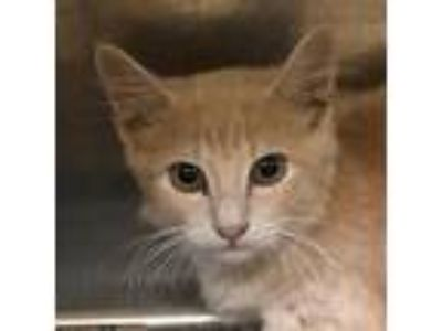 Adopt TUSC-Stray-tu4406_2 a White (Mostly) Domestic Shorthair cat in Tuscaloosa