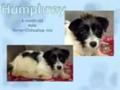 Adopt Humphry a Terrier