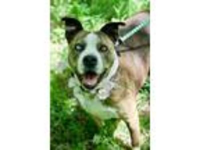Adopt Thunder a American Staffordshire Terrier