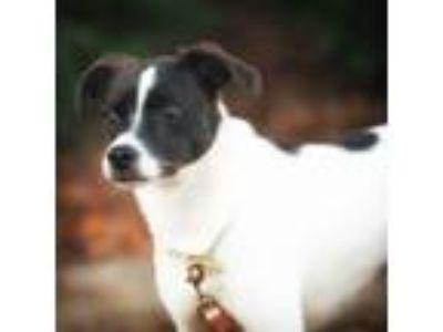 Adopt Nova a Jack Russell Terrier