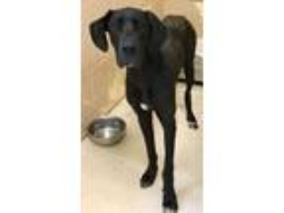 Adopt Belle a Black - with White Great Dane / Mixed dog in Loudon, TN (25873427)