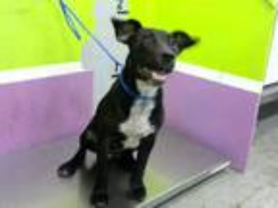 Adopt MOLLY a Black - with White Labrador Retriever / Mixed dog in Houston