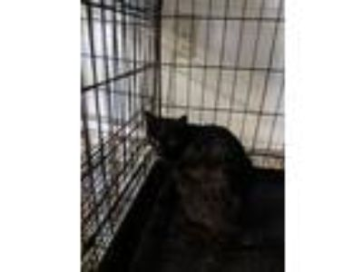 Adopt F33 a Domestic Short Hair