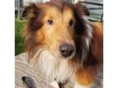Adopt Sunny a Brown/Chocolate Sheltie, Shetland Sheepdog / Mixed dog in