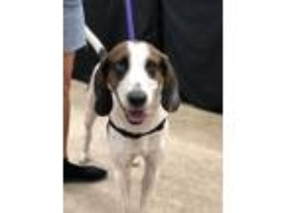 Adopt Indy a Hound, Treeing Walker Coonhound