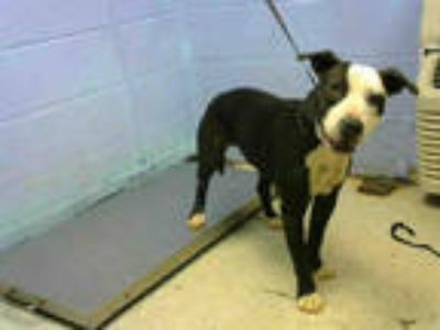 Adopt CARRIE a Black - with White American Pit Bull Terrier / Mixed dog in