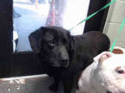 Adopt TOBY a Black Labrador Retriever / Mixed dog in Tulsa, OK (25300229)