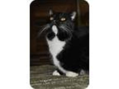 Adopt Paulie a American Shorthair / Mixed (short coat) cat in Maywood