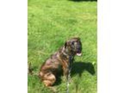 Adopt Amber a Brindle Boxer / Golden Retriever dog in Silver Spring