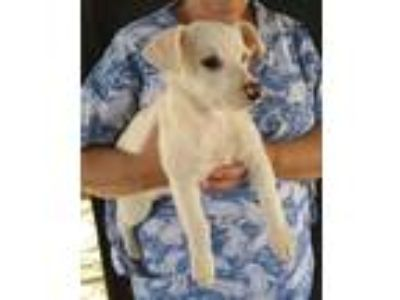 Adopt Lily a Tan/Yellow/Fawn Jack Russell Terrier / Mixed dog in Temecula