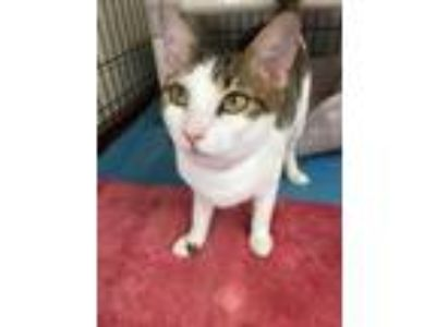 Adopt Kurenai a White (Mostly) Domestic Shorthair (short coat) cat in Fort