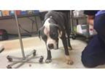 Adopt Benji a Gray/Silver/Salt & Pepper - with White American Staffordshire