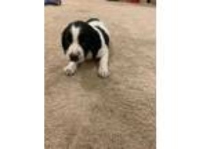 Adopt Riza a Black - with White Border Collie / Spaniel (Unknown Type) dog in