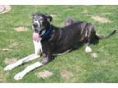 Adopt Brutus a Great Dane