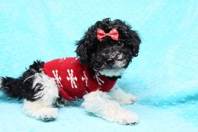 Puppies - For Sale Classifieds - Claz org