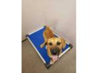 Adopt Upholstery a Brown/Chocolate Hound (Unknown Type) / Mixed dog in