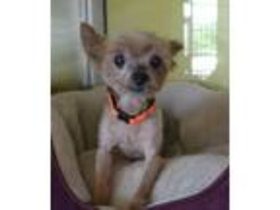 Adopt Louie a Yorkshire Terrier