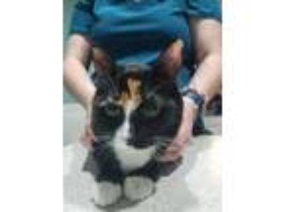Adopt Jezabel a Domestic Short Hair