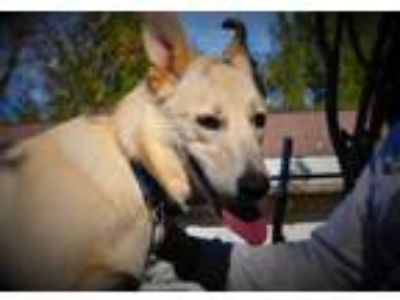 Adopt Barkley (Cat Tolerant) a White - with Tan, Yellow or Fawn German Shepherd