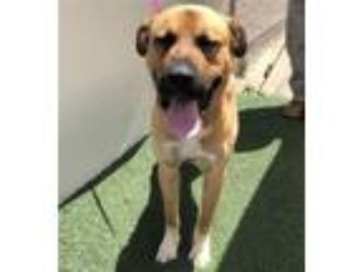 Adopt This DOG - ID#A206446 a Tan/Yellow/Fawn - with White Mastiff / Mixed dog