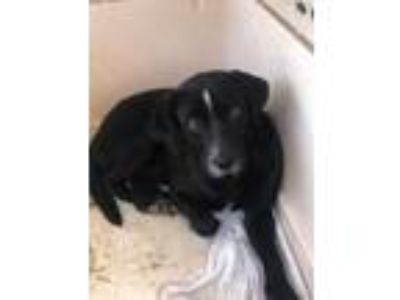 Adopt Butter a Black Terrier (Unknown Type, Small) / Mixed dog in St.